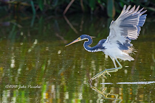 Tricolored Heron hunting | by bananaman33428