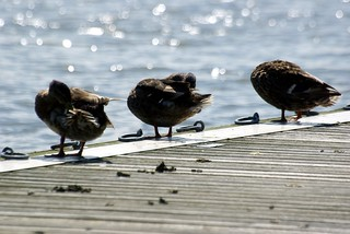 Ducks at Oulton Broad | by Si Oliver Photography