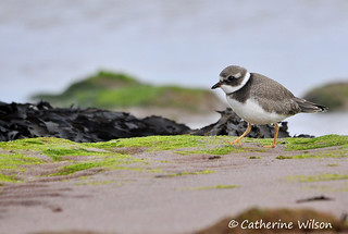 Juvenile ringed plover | by weetoon66