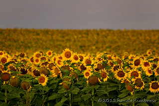 Sunlit Sunflowers | by RondaKimbrow