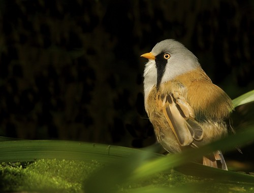 Bearded Tit (Reedling) | by Alex Berryman