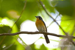 Mangrove Blue Flycatcher (Cyornis rufigastra) | by alabang