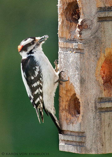 Downy Woodpecker 93/P366 | by KvonK