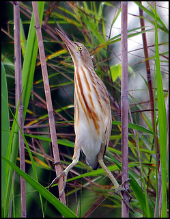 A Yellow Bittern (Ixobrychus sinensis) from Bang Pha, south of Bangkok | by Chris Chafer Thanks for 1.5M views & comments
