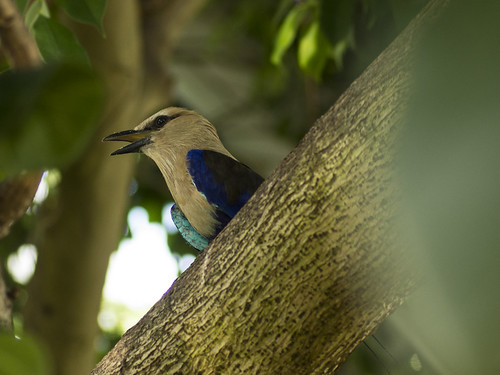 Blue Bellied Roller | by spmcfarland