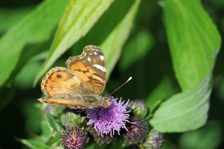 2012 Painted Lady (Vanessa cardui) 8 | by DrLensCap