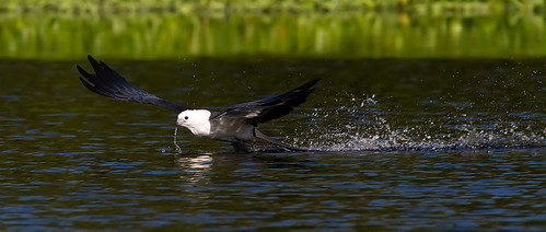 Swallow-tailed Kite | by Nature Photos by Scott