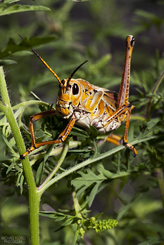 Eastern Lubber Grasshopper | by michaelfloresbugs