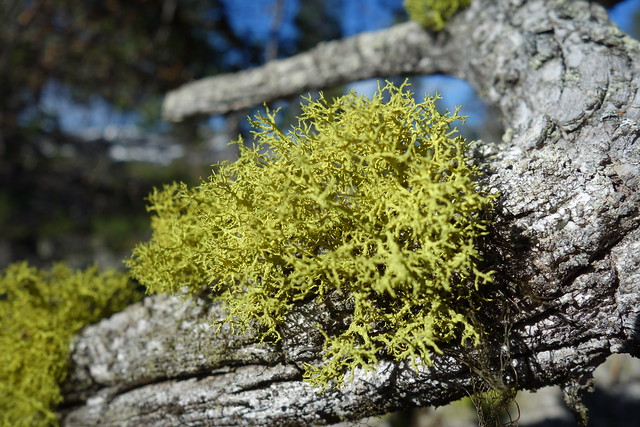 Varglav - The poisonous Wolf lichen