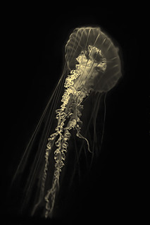 Pacific Sea Nettle | by Tim King Photography