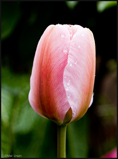 Pink Tulip | by Mal Urwin TY for over 6M views