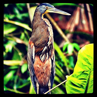 Amazingly beautiful tiger heron in Costa Rica! | by nihaoxiongmao