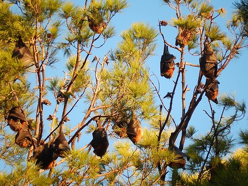 Bats at Sunset | by mikecogh