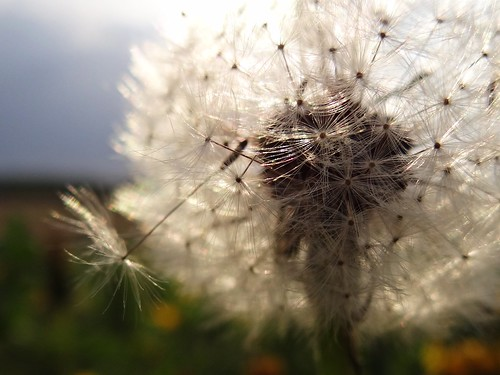 dandelion | by JoannaRB2009