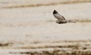the gray ghost (northern harrier) | by Rohit chauhan photography