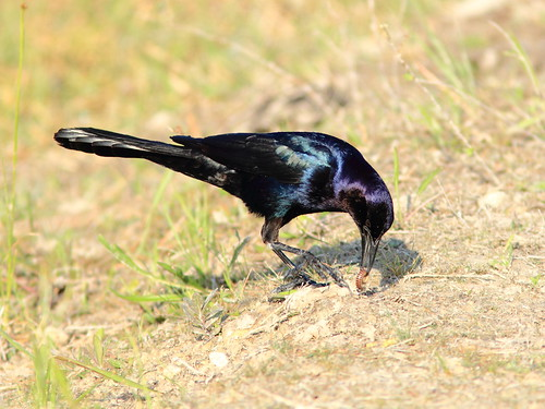 Boat-tailed Grackle with millipede 20120410