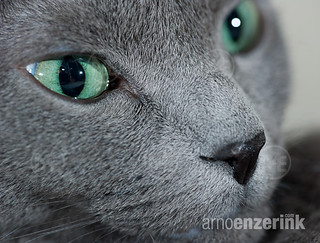 Close up of a pure bred Russian Blue cat | by Arno Enzerink