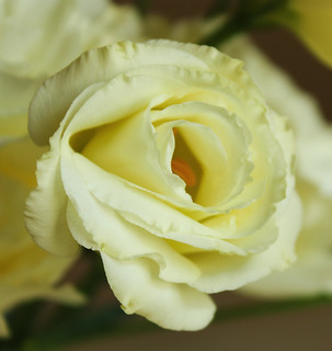 Lisianthus closeup. my favourite flower,06,07,2012 | by sues passion