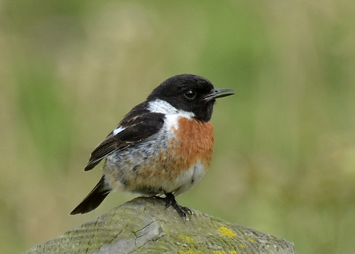 Stonechat - Male | by Photo Crazy Rob