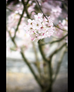 cherry blossoms | by sebboh