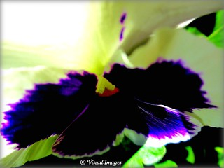 White and purple pansy | by Visual Images1 (Thanks for 4 million views)