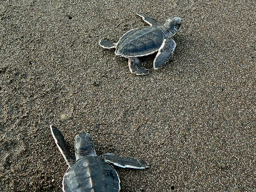 photo of Green Turtle Hatchlings (Chelonia mydas)