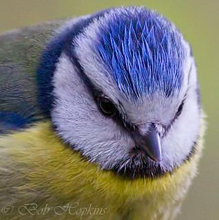 Blue Tit | by Bob Hopkins Wildlife Images