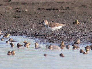 Spotted Sandpiper 2-20120717 | by Kenneth Cole Schneider