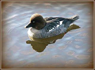Common Goldeneye Female (Bucephala clangula) | by FernShade