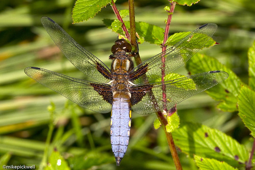 Broad Bodied Chaser, Southrey Wood | by mikepickwellwildimages