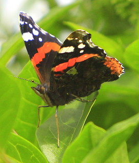 Red Admiral New Quay | by Sue Wolfe