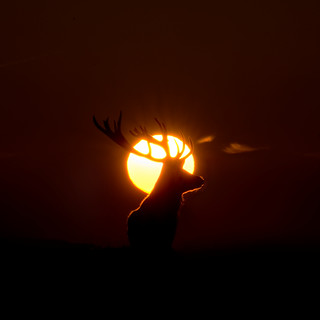 Red Deer - Rim-Lit Silhouette | by Old-Man-George