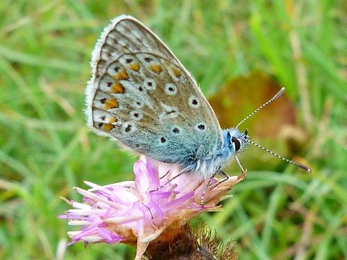 common blue butterfly | by SEMMA3 (loves nature)