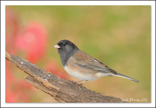 Junco | by lindapp57