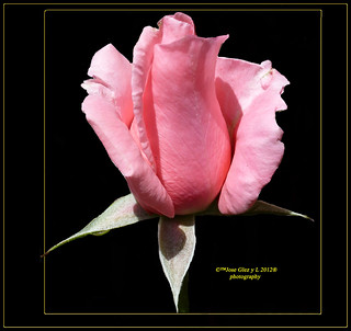 Pink rose in black Rosa rosa negro | by Pepe (ADM)