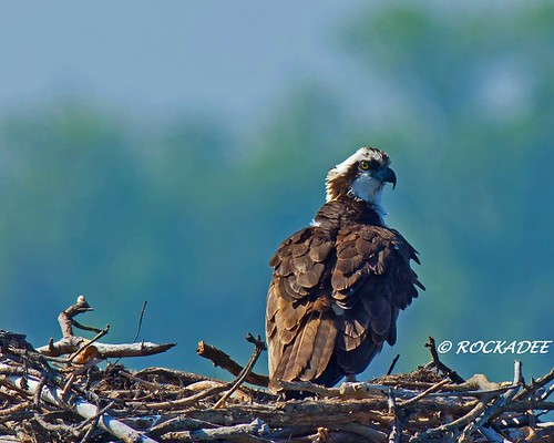 Osprey | by ROCKADEE_Two With Eagles 1951 / Rockey & Dee