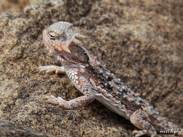 Horned Lizard 3