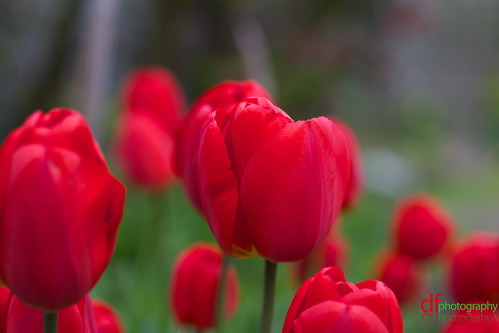 Tulips | by Dan Fegent