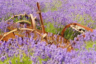 lavender and rust _ sequim, washington | by meg99az