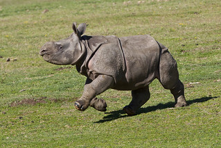 Greater one-horned rhino calf, Charlees | by San Diego Zoo Global