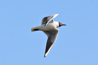 Blackheaded gull | by kevin-64
