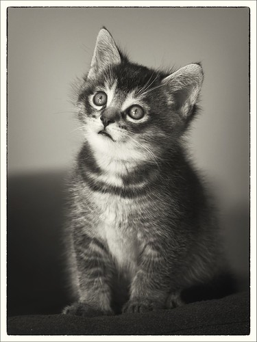 Kitten black and white portrait (Gato) | by Ida J.M.