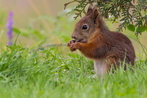 Red Squirrel (Sciurus vulgaris vulgaris)-9131.jpg | by Stein Arne Jensen