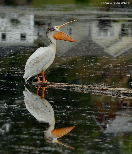American White Pelican (Pelecanus erythrorhynchos) | by Photography Through Tania's Eyes