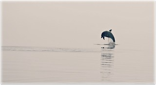 Dolphin in the fog 3/8/12 | by niknok2007...