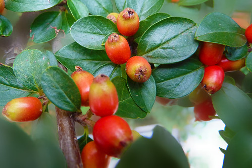 Small fruits on a bush | by Vestaligo