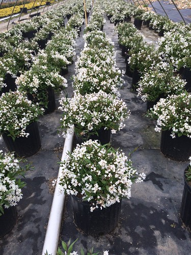 Deutzia 'Nikko' #3 | by Johnson Farms