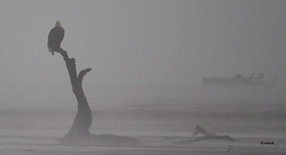 Bald Eagle In The Mist | by frank1556
