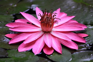 Lotus On the Water | by Hsu, Kuang-Chung