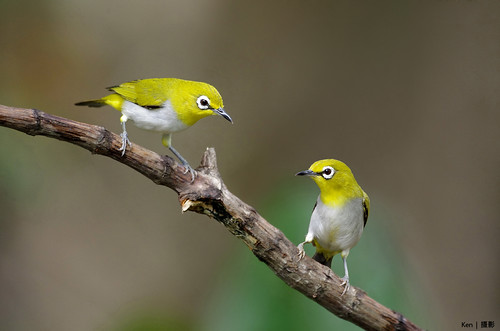 Two Oriental White Eyes on a stick | by Ken Goh thanks for 2 Million views